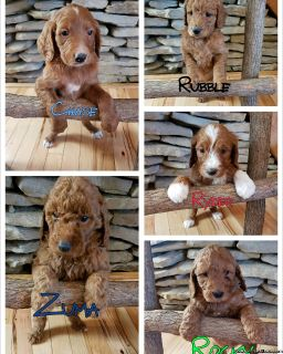 Goldendoodle Puppies F1b AKC