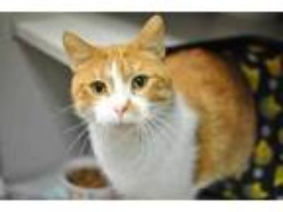 Adopt Sami a Orange or Red Domestic Shorthair / Domestic Shorthair / Mixed cat