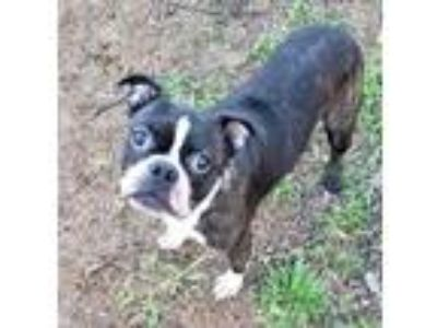 Adopt Diesel (medical hold) a Boston Terrier
