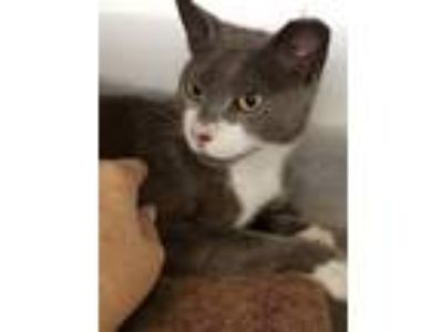 Adopt Mouse (WPS-AA) a American Shorthair