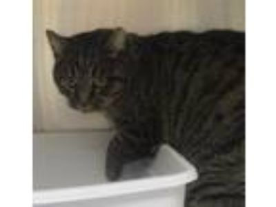 Adopt Stripes (new salem) a Domestic Short Hair