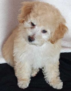 Poodle (Toy) PUPPY FOR SALE ADN-103689 - Family raised Toy Poodle puppy for sale