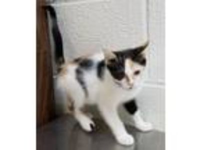 Adopt Halley a Domestic Short Hair