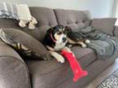Adopt Annabelle a Labrador Retriever, Beagle
