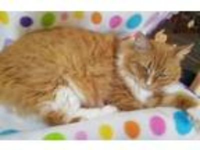 Adopt Toby a Domestic Long Hair, Manx