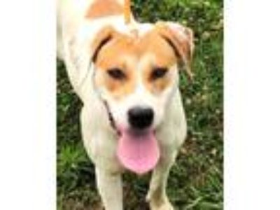 Adopt Shore a Tan/Yellow/Fawn Labrador Retriever / Hound (Unknown Type) / Mixed