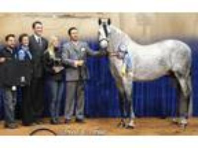 Imported National Champion PRE Andalusian Stallion Near Tryon Nc