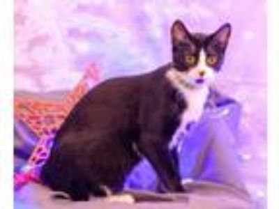 Adopt Meeki C2220 a Domestic Short Hair
