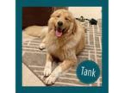 Adopt Tank a Golden Retriever, Great Pyrenees