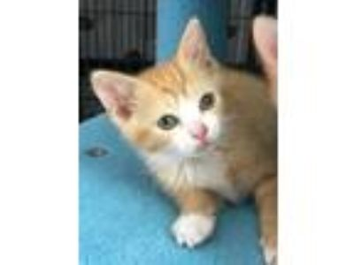 Adopt Taco a Orange or Red Tabby Domestic Shorthair (short coat) cat in