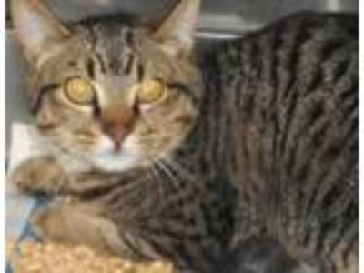 Adopt Allium a Domestic Short Hair