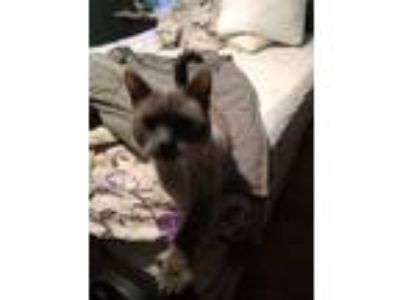 Adopt Moma Kitty (IsIs) a Brown or Chocolate Siamese cat in Brockton