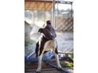 Adopt Big Boy a Black - with White American Staffordshire Terrier / Mixed dog in