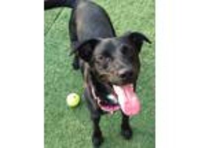 Adopt Bella May a Black - with White Labrador Retriever / Mixed dog in Norwalk