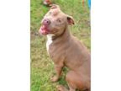 Adopt Princeton a Pit Bull Terrier / Mixed dog in Albany, GA (23005803)