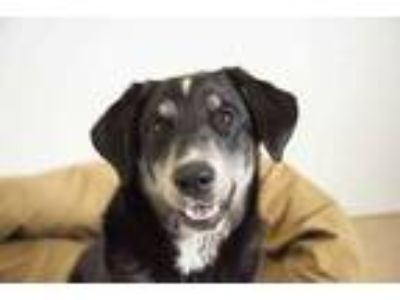 Adopt Horsey Chetopa a Black Australian Shepherd / Mixed dog in Mission