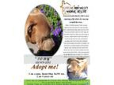 Adopt TOBY a Shar-Pei, Boxer