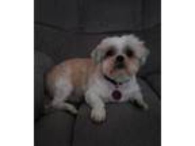 Adopt Timmy a Shih Tzu / Mixed dog in Bellbrook, OH (21895030)