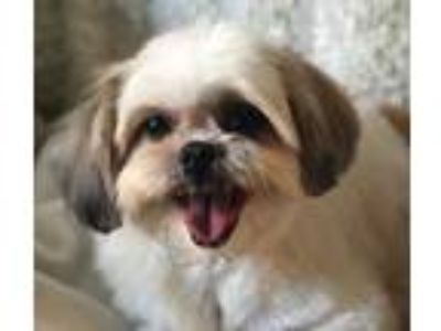 Adopt Shirley a White - with Brown or Chocolate Shih Tzu / Mixed dog in New