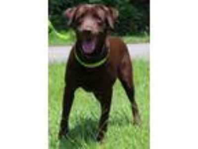 Adopt Coosa 31018 a Chocolate Labrador Retriever