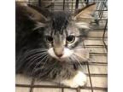 Adopt Randy a Domestic Medium Hair