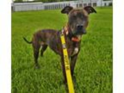 Adopt Kendall a Pit Bull Terrier, Mixed Breed