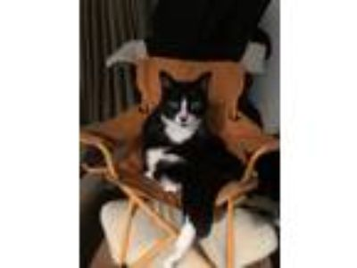 Adopt Norman a Black & White or Tuxedo Domestic Shorthair / Mixed cat in