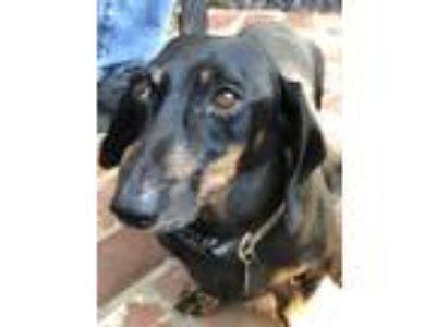 Adopt Buddy a Black Dachshund / Mixed dog in Aliso Viejo, CA (25650825)
