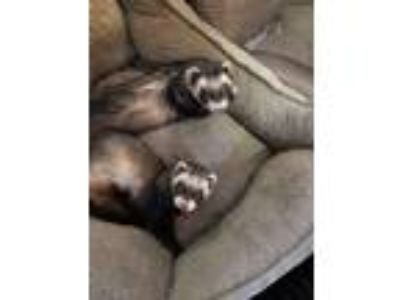Adopt Blaze & Sundance a Ferret small animal in Paramus, NJ (25477760)