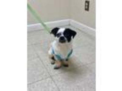 Adopt Norman a Jack Russell Terrier / Pug / Mixed dog in Fall River