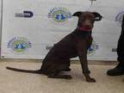 Adopt MISSY a Labrador Retriever, Mixed Breed