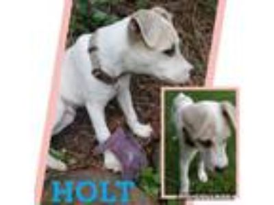 Adopt Holt a Jack Russell Terrier