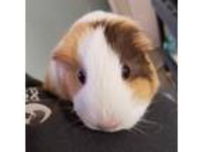Adopt Brandy a Orange Guinea Pig / Guinea Pig / Mixed small animal in Menands