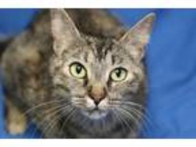 Adopt Tabitha a Domestic Short Hair