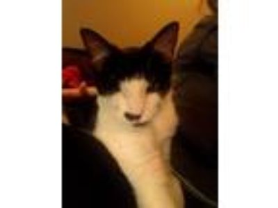 Adopt Valentine a Black & White or Tuxedo Domestic Shorthair (short coat) cat in