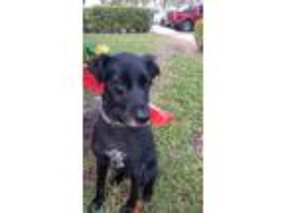 Adopt Charlie a Black Australian Shepherd / Labrador Retriever / Mixed dog in