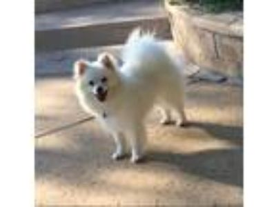Adopt Penny a White Pomeranian / Mixed dog in Temecula, CA (25784923)