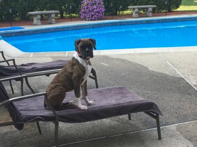 Boxer PUPPY FOR SALE ADN-109150 - Boxer for sale