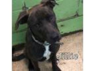 Adopt Jillie a Black - with White Mixed Breed (Medium) / Mixed dog in Ft.