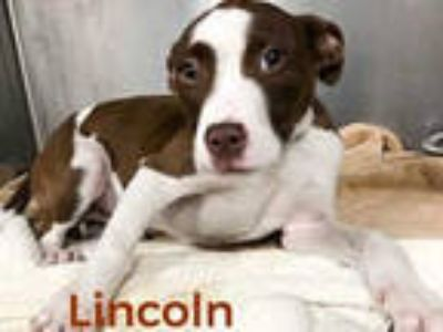 Adopt LINCOLN a Brown/Chocolate - with White Labrador Retriever / Mixed dog in