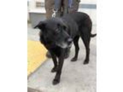Adopt Natasha a Black Labrador Retriever / Mixed dog in Fresno, CA (25354788)