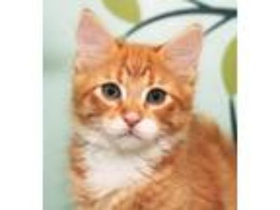 Adopt ZEUS a Orange or Red (Mostly) Domestic Longhair (long coat) cat in Royal
