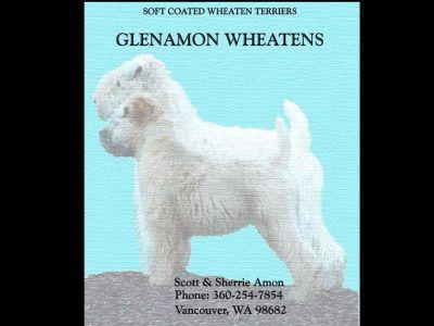 Soft Coated Wheaten Terrier Nearly 2 yr female