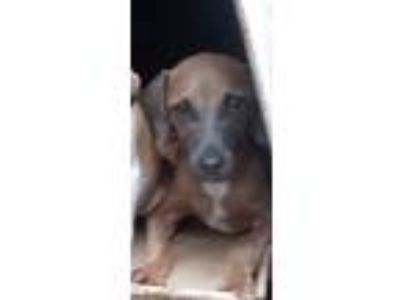 Adopt Robbie a Brown/Chocolate - with Black Hound (Unknown Type) / Mixed dog in