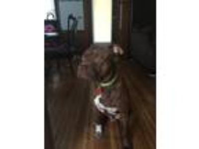 Adopt Reign a Red/Golden/Orange/Chestnut - with Black American Pit Bull Terrier