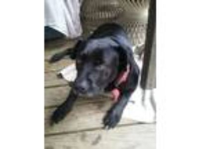 Adopt Bear a Black - with White American Pit Bull Terrier / Labrador Retriever /