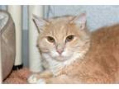 Adopt Quigley a Domestic Long Hair