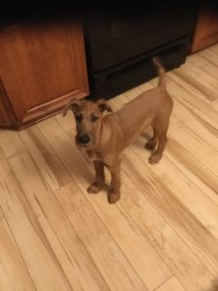 Irish Terrier PUPPY FOR SALE ADN-97741 - Irish Terrier Puppy 4mo old male