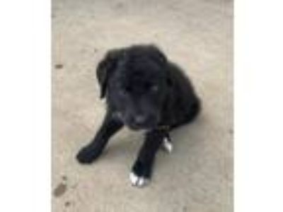 Adopt Michael a Labrador Retriever, Border Collie