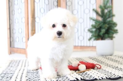 Bichon Frise PUPPY FOR SALE ADN-104658 - Joy Happy AKC Bichon Puppy